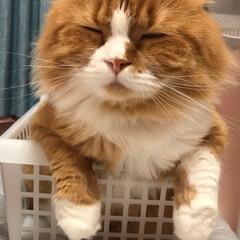 ぶさかわ/ジワる/家族/長毛猫/長毛種/愛猫/... いつも入れるようなスペールがあれば入り、…