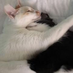 白猫/かぎしっぽ/保護猫/GW/LIMIAペット同好会/にゃんこ同好会 朝からパズルのピースの様にぴったり引っ付…