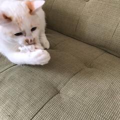 保護猫/満福君/白猫/LIMIAペット同好会/にゃんこ同好会 どんなオモチャもより丸めたティッシュが一…(3枚目)