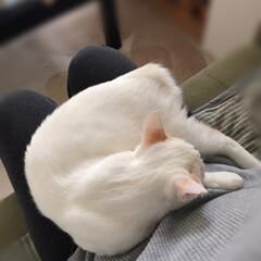 巻きしっぽ/満福君/保護猫/ペット/猫/にゃんこ同好会 今日の満福は甘えん坊モードらしいです😍ぐ…