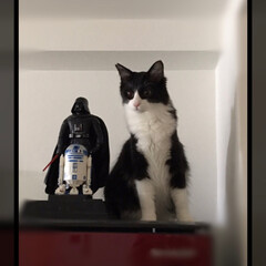 SW/ハチワレ猫/かぎしっぽ/保護猫/ペット/猫/... うちの可愛いベイダー卿💕