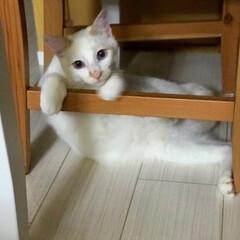 巻きしっぽ/満福君/保護猫/猫/にゃんこ同好会 ちょいとひと休み😍(2枚目)