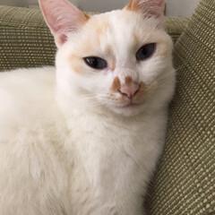満福君/白猫/保護猫/LIMIAペット同好会/にゃんこ同好会 満福たん♪ ソファの隅っこが最近のお気に…(2枚目)