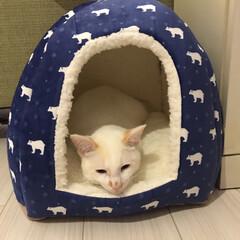 かぎしっぽ/ハチワレ猫/保護猫/ペット/猫/にゃんこ同好会 新しい冬用ベッド 満福が先に青いの取っち…