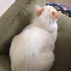 白猫/ニャンコ同好会/保護猫 今日は僕の場所