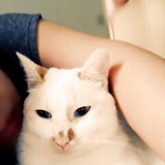 満福君/白猫/保護猫/猫派/LIMIAペット同好会/にゃんこ同好会/... 腕枕でノドをゴロゴロ鳴らす甘えん坊君☺️