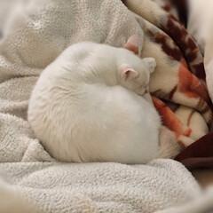 かぎしっぽ/白猫/保護猫/LIMIAペット同好会/ペット仲間募集/猫/... 主人の抜け殻布団に白い塊❣️