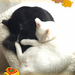 仲良し/保護猫/ハチワレ猫/あけおめ/ペット/猫/... 今年もぼちぼち猫写真上げていこうと思いま…