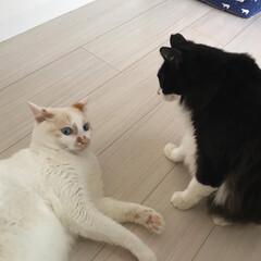 ハチワレ/もんちゃん/白猫/満福君/にゃんこ同好会 一触即発! だいたいもんちゃんが手を出し…(2枚目)