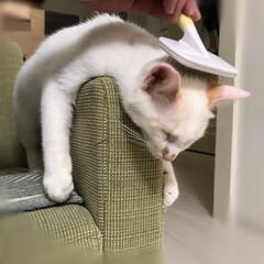 保護猫/ペット/猫/にゃんこ同好会 ソファの肘掛でブラッシング〜 気持ちぃ〜…(3枚目)