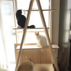 ハチワレ/白ねこ/にゃんこ同好会/DIYキャットタワー/キャットタワー/DIY お手製キャットタワーでくつろいだり、仲良…