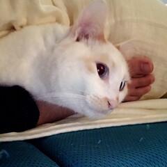 満福君/保護猫/白ねこ/ニャンコ同好会 人の足を枕にくつろぐ満福ww
