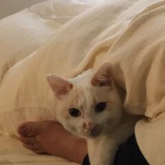 満福君/保護猫/白ねこ/ニャンコ同好会 人の足を枕にくつろぐ満福ww(2枚目)