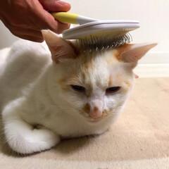 猫/かぎしっぽ/保護猫/白猫/LIMIAペット同好会/にゃんこ同好会 こんな顔してますがブラッシング気持ちえぇ…