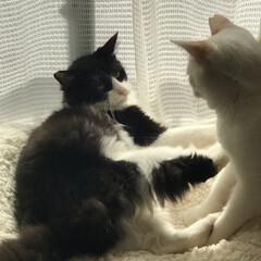 かぎしっぽ/白猫/ハチワレ/保護猫/猫/にゃんこ同好会 猫パンチ炸裂👊