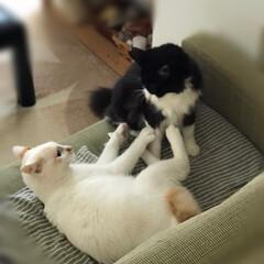 かぎしっぽ/白猫/保護猫/ハチワレ/LIMIAペット同好会/ペット/... ご飯をなかなかくれないイライラからケンカ…