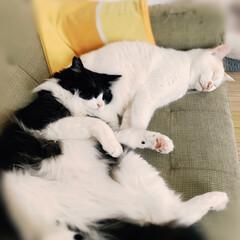 保護猫/はちわれ猫/白猫/にゃんこ同好会 ストーブにあたりながらのお昼寝気持ちいニ…(2枚目)