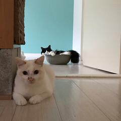 もんじ君/ハチワレ猫/満福君/白猫/保護猫/LIMIAペット同好会/... 満福「何か背後から…視線が…」  もんち…