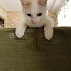 コンテスト参加/保護猫/ペット/猫 ちょこんとソファから顔出す白君。  あっ…