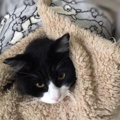 ニャンコ同好会/ハチワレ/保護猫 お包みもんちゃん🐾