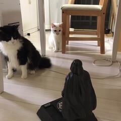 白猫/満福君/ハチワレ猫/もんじ君/保護猫/かぎしっぽ/... うちの頼もしいジェダイ達‼️ まずは満福…