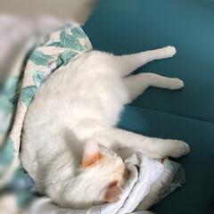 白猫/はちわれ猫/保護猫/にゃんこ同好会 今日は予定の無いお休み☺️ そんな日は普…(2枚目)