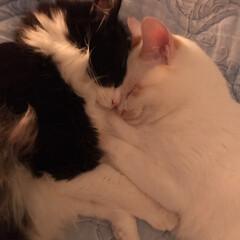 猫/仲良しさん/ハチワレ/白猫/かぎしっぽ/保護猫/... 最近の満福ともんちゃん♪ この体勢の寝姿…