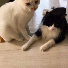 もんじ君/ハチワレ猫/満福君/白猫/保護猫/猫派/... 写真撮らせて〜📷  もんちゃんのサービス…