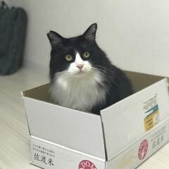 佐渡米/猫/ハチワレ/ニャンコ同好会 美味しいお米が届いたよ。  僕は中身より…(1枚目)