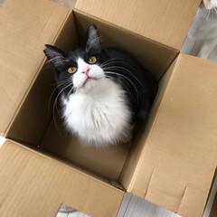 白猫/かぎしっぽ/ハチワレ猫/保護猫/GW/LIMIAペット同好会/... うちの箱入り息子🐱