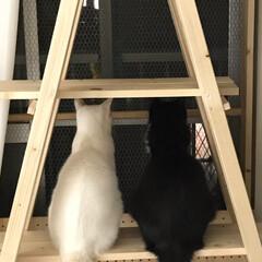 かぎしっぽ/ハチワレ/保護猫/にゃんこ同好会 何見てるのかなぁ〜