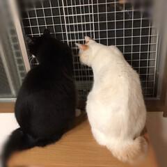かぎしっぽ/ハチワレ猫/白猫/保護猫/LIMIAペット同好会/にゃんこ同好会/... ニャルソック中❗️ 異常ニャイで〜す❣️