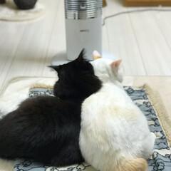 にゃんこ同好会/白猫/はちわれ猫/保護猫 暖をとるニャンズ🐱 寒いから寝てる写真ば…