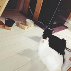 かぎしっぽ/ハチワレ猫/白猫/保護猫/LIMIAペット同好会/にゃんこ同好会 ご飯まだぁ〜🍖