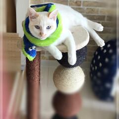満福君/白猫/保護猫/ペット/猫/にゃんこ同好会 蛇マフラー🧣もふもふあったか☺️  首輪…