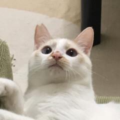 保護猫/白猫/LIMIAペット同好会/にゃんこ同好会/わたしのお気に入り んっ❓ うむっ‼️ 大好きな羽根おもちゃ…