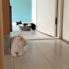 もんじ君/ハチワレ猫/満福君/白猫/保護猫/LIMIAペット同好会/... 満福「何か背後から…視線が…」  もんち…(2枚目)