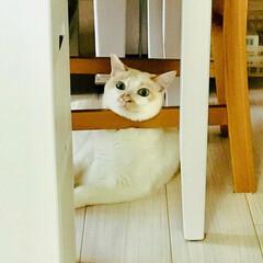 白猫/保護ねこ 久しぶりの足掛け座り、だいぶお腹がタポつ…(2枚目)
