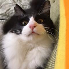 かぎしっぽ/白猫/ハチワレ/保護猫/猫/にゃんこ同好会 おメメくりくり👀 目線の先には…