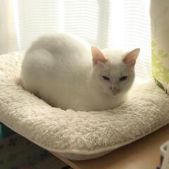かぎしっぽ/ハチワレ猫/保護猫/ペット/猫/にゃんこ同好会 勝ち誇る満福。 負け猫もんじ。哀愁漂う。…