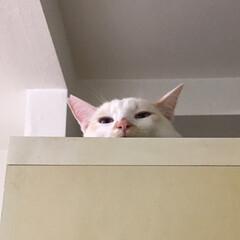 白猫/満福君/保護猫/にゃんこ同好会 寝てる間に隠し撮り…  気づかれたっ!(2枚目)
