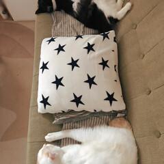 かぎしっぽ/保護猫/白猫/ハチワレ猫/LIMIAペット同好会/にゃんこ同好会 ソファ占領🐱 そうはさせるか!真ん中座っ…