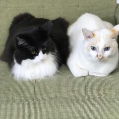 にゃんこ同好会/白猫/ハチワレ おはようございます☀  朝から癒しチャー…