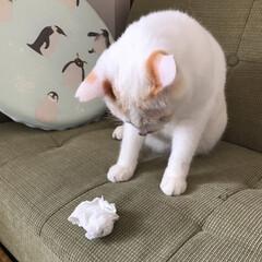 保護猫/満福君/白猫/LIMIAペット同好会/にゃんこ同好会 どんなオモチャもより丸めたティッシュが一…(4枚目)