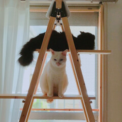 キャットタワーDIY/DIY/もんじ君/ハチワレ猫/満福君/白猫/... こちらのゴハンが気になる様子…見られてる…
