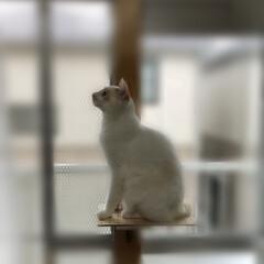 保護ねこ/ハチワレ/白猫/猫/DIY 暇なのでこんなの作ってみた。
