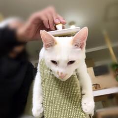 保護猫/ペット/猫/にゃんこ同好会 ソファの肘掛でブラッシング〜 気持ちぃ〜…