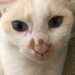 満福君/白猫/保護猫/LIMIAペット同好会/にゃんこ同好会 満福たん♪ ソファの隅っこが最近のお気に…(3枚目)