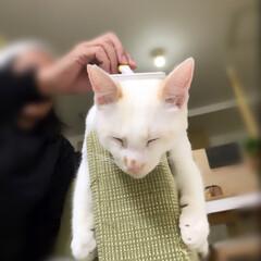 保護猫/ペット/猫/にゃんこ同好会 ソファの肘掛でブラッシング〜 気持ちぃ〜…(2枚目)