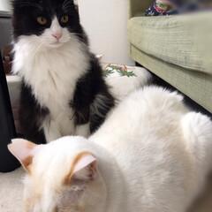 はちわれ猫/白ねこ/ニャンコ同好会/保護猫 もんちゃんがベチョベチョと毛繕いして満福…(3枚目)